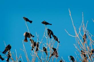 blackbirds-cu-vig